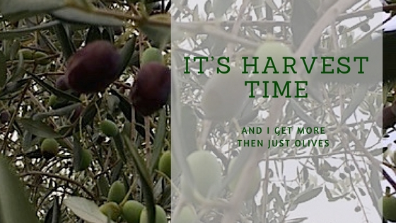 It's Harvest Time And I Get More Out Of It Then Just Olives